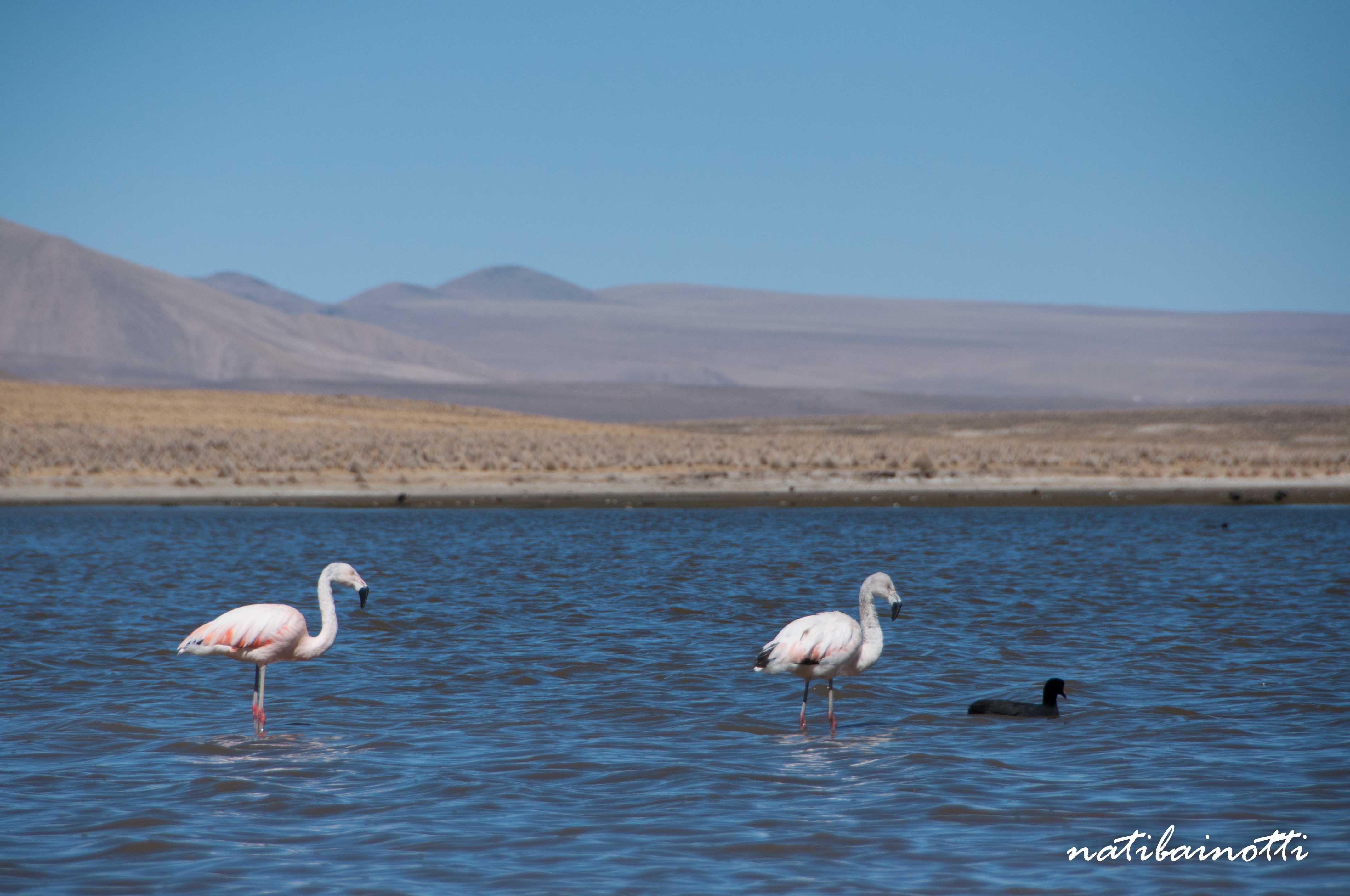 Flamencos y pato negro, algunas de las tantas epecies que habitan en el lago.