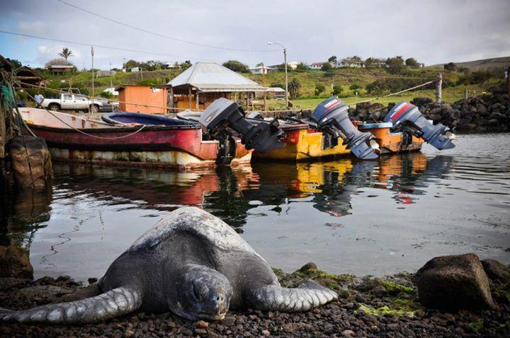 tortuga marina gigante isla de pascua