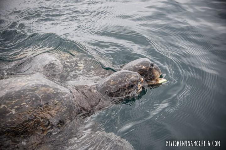 tortugas isla de la plata