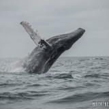 ballena jorobada puerto lopez