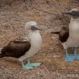 piqueros patas azules puerto lopez
