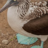 piquero patas azules parque nacional machalilla