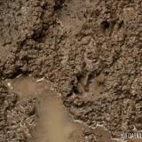 huellas de animales en el barro
