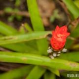 orquidea roja rio blanco