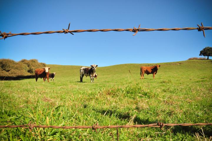 vacas chile