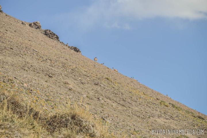 guanacos en la montaña andes