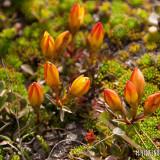 Las florcita del Cajas