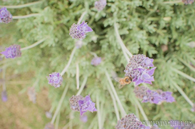 lavanda abejas